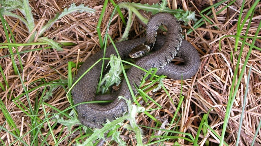 Pc Enviro Grass Snake Ecology Reptile Survey