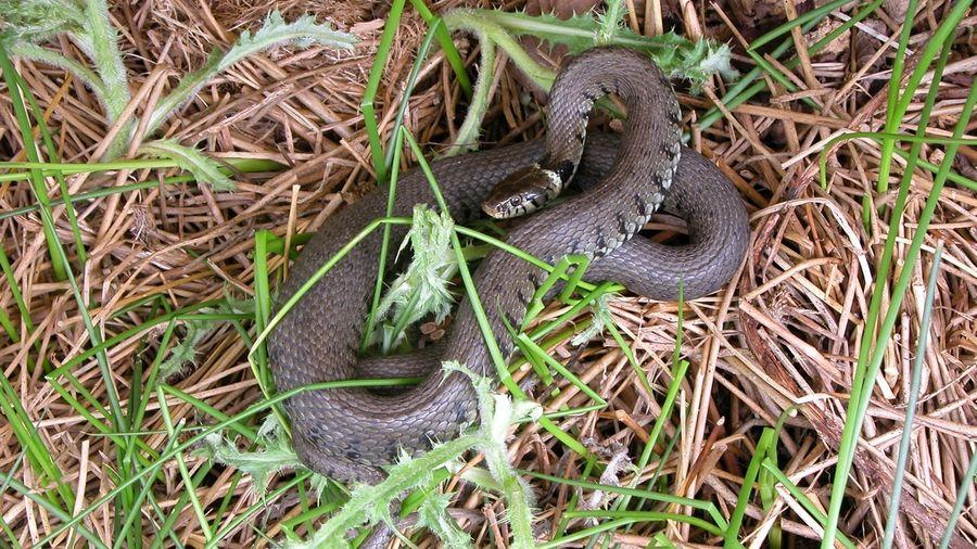 Pc Enviro Grass Snake Ecology Reptile Survey