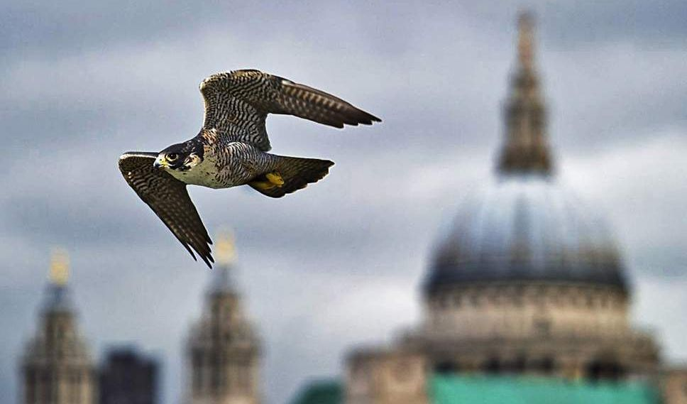 Generic London Peregrine Falcon